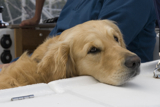 relaxing retriever whwscl12 wed rmc 2976